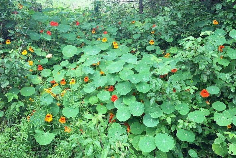 nasturtiums trailing