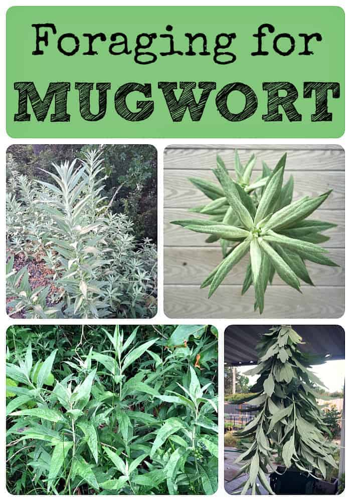 Foraging for Mugwort