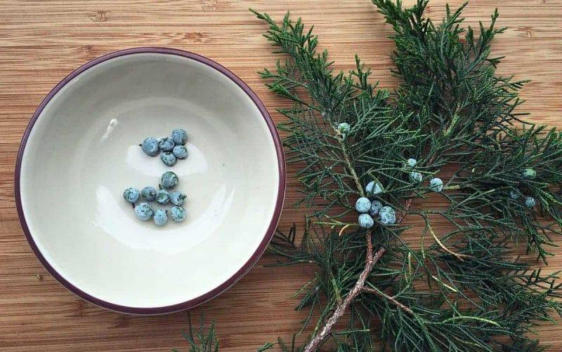 collecting juniper berries
