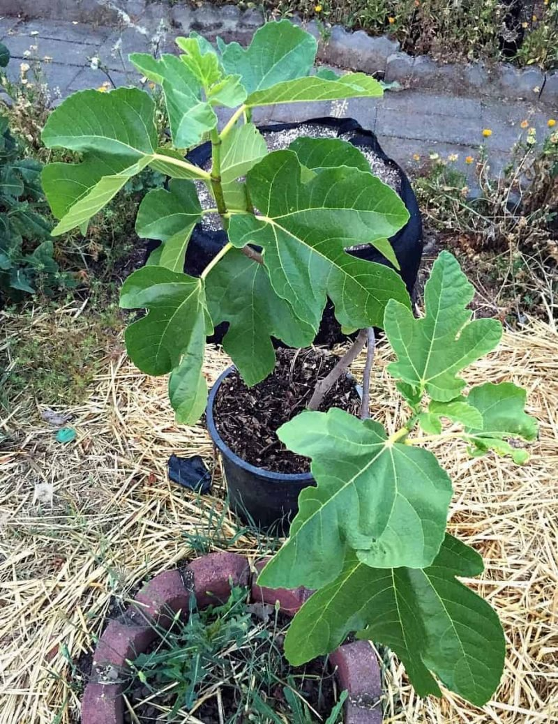 fig tree in pot