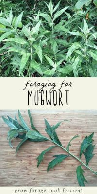 A mugwort plant, and foraged mugwort leaves on a cutting board.