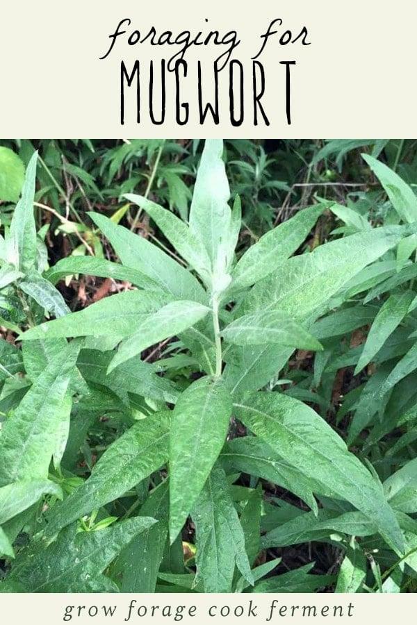 A mugwort plant.