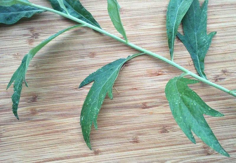 mugwort leaf
