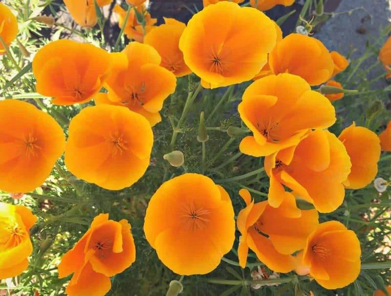 Foraging for wild poppies mightylinksfo