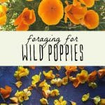 Orange wild poppies, and foraged wild poppies on a drying rack.