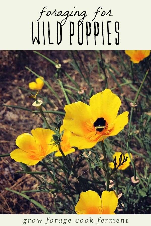 Yellow wild poppies