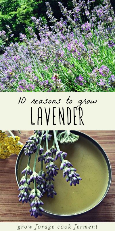 Lavender growing in a garden, and lavender infused oil in a tin.