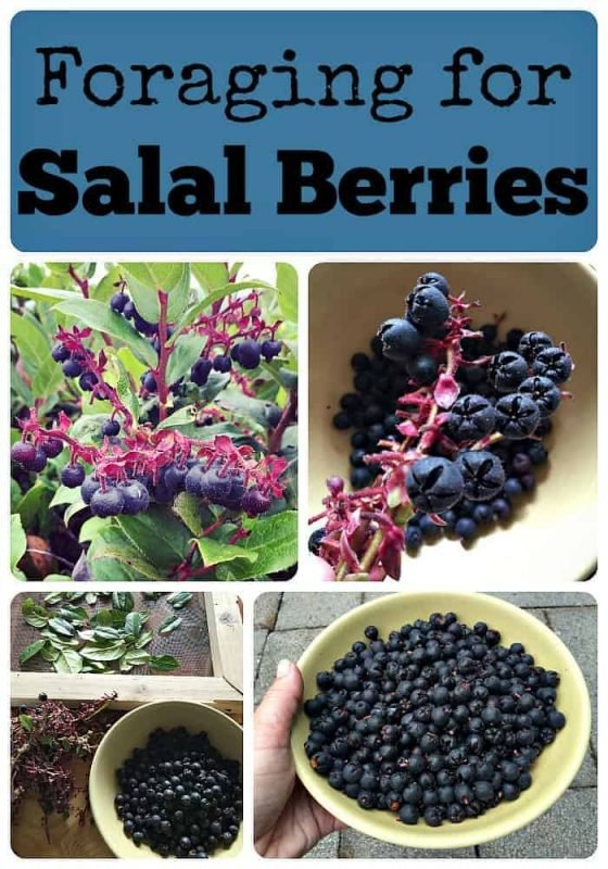 Foraging for Salal Berries