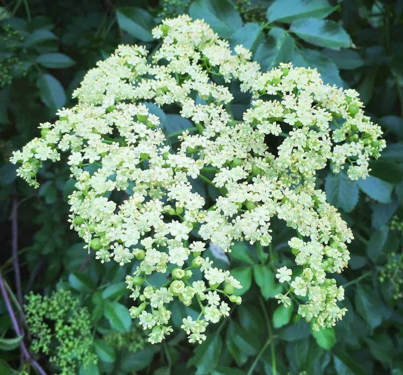 a fresh elderflower