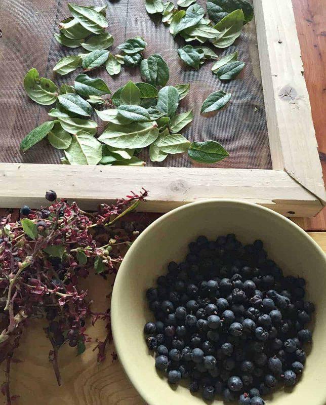 harvesting salal berries and leaves