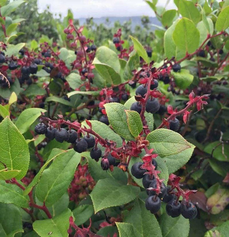 lots of wild salal berries