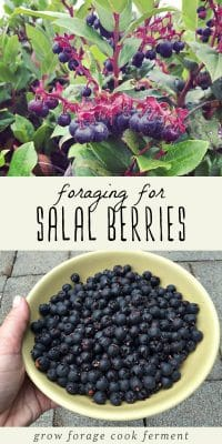 Salal berry shrub, and foraged salal berries in a yellow bowl.