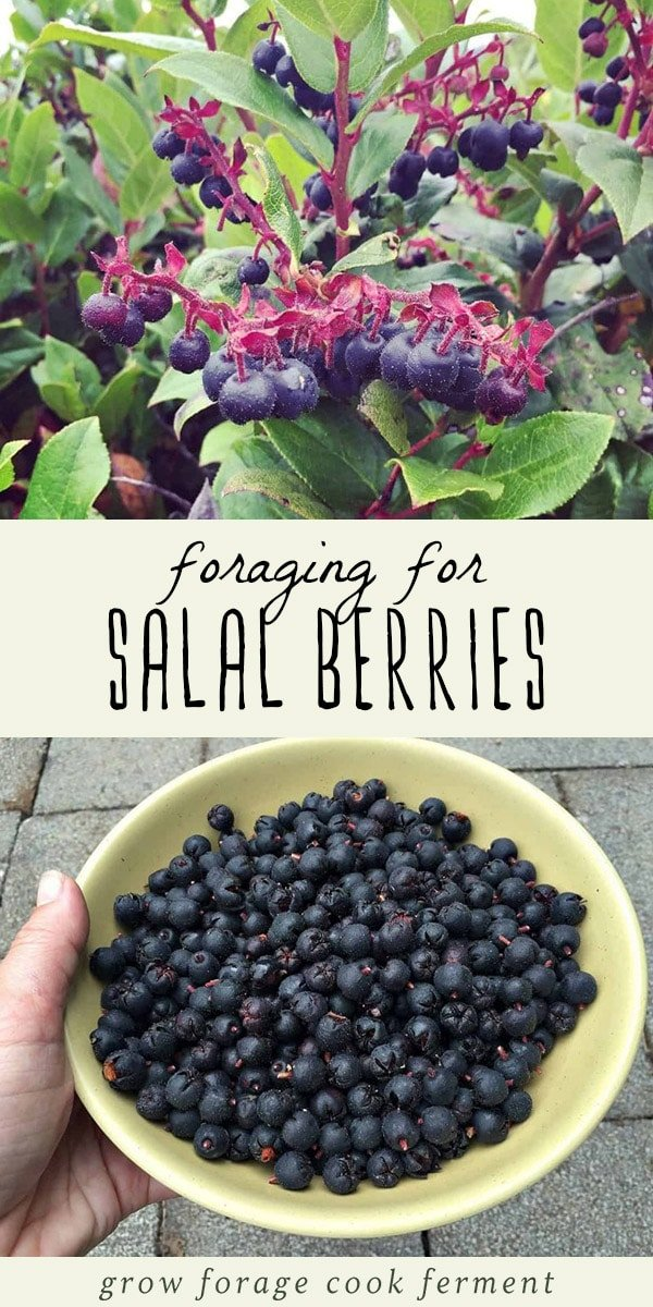 Salal berries are tasty, edible wild berries that are native to the western US.  They are abundant and easy to forage for, fairly easy to recognize, and even medicinal as well as edible! Learn everything you need to know about foraging for and using salal berries. #forage #berries #wildcrafting