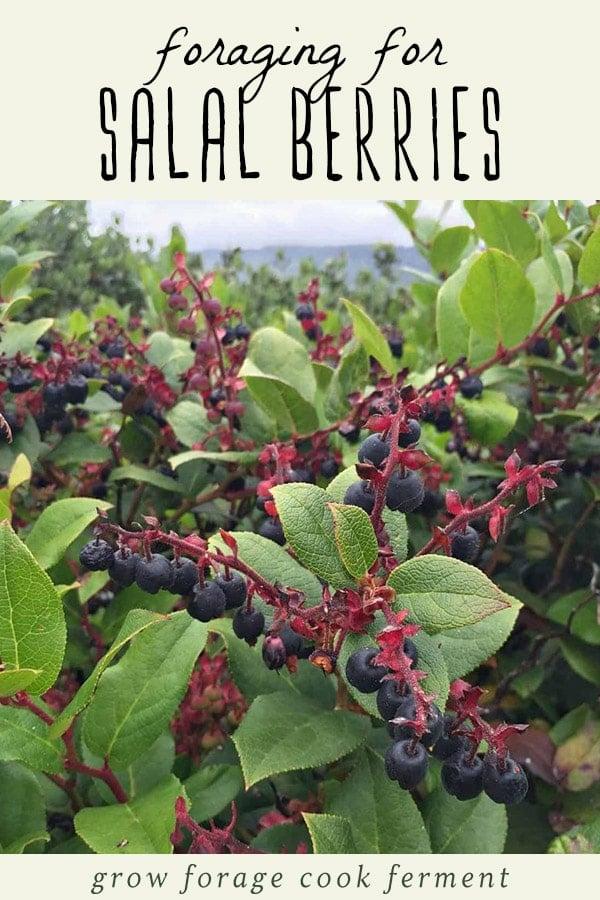 A salal berry bush.