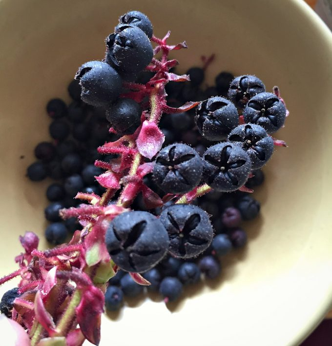 salal berries close up