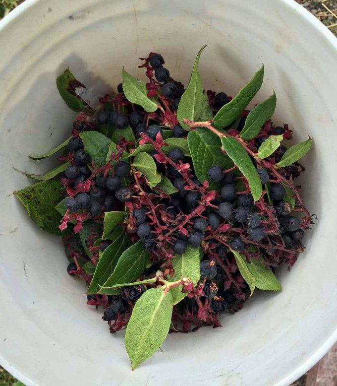 salal berries in bucket