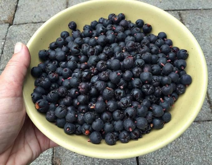 salal berry harvest
