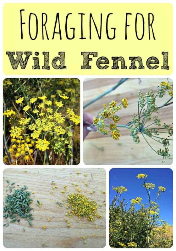 Foraging for Wild Fennel