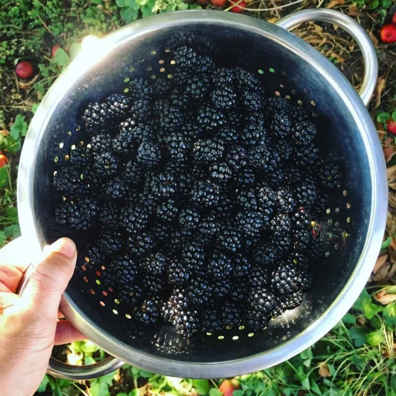a hand holding a metal colander of foraged blackberries
