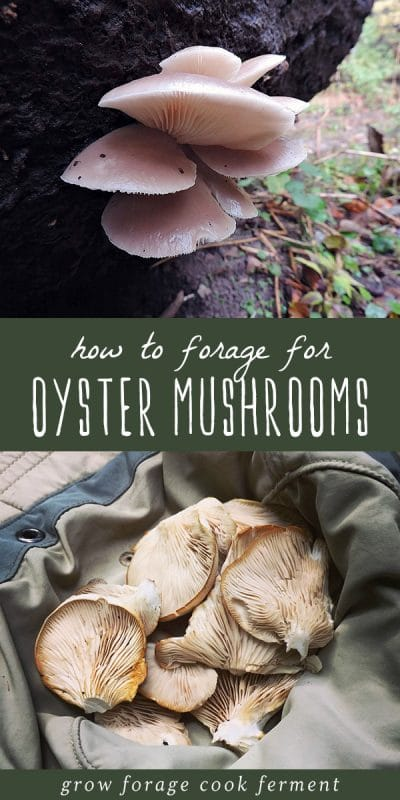 Oyster mushrooms growing on a tree, and freshly foraged oyster mushrooms.