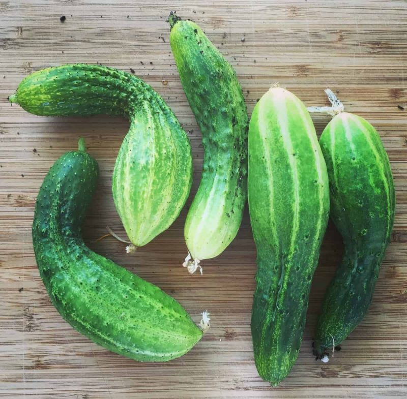 fresh pickling cucumbers from the garden on a bamboo cutting board