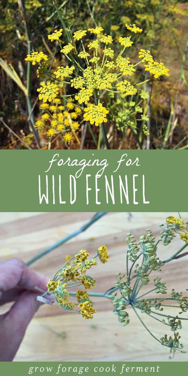 Wild fennel is a common edible and medicinal plant on west coast roadsides. Foraging for wild fennel is easy with its licorice like scent. Learn everything you need to know about how to identify and forage for wild fennel, and the many ways you can use foraged wild fennel in your herbalism or natural medicine practice. #foraging #wildcrafting