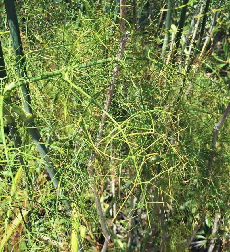 wild fennel fronds