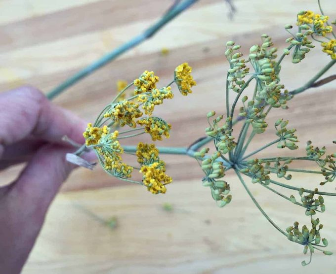 wild fennel pollen