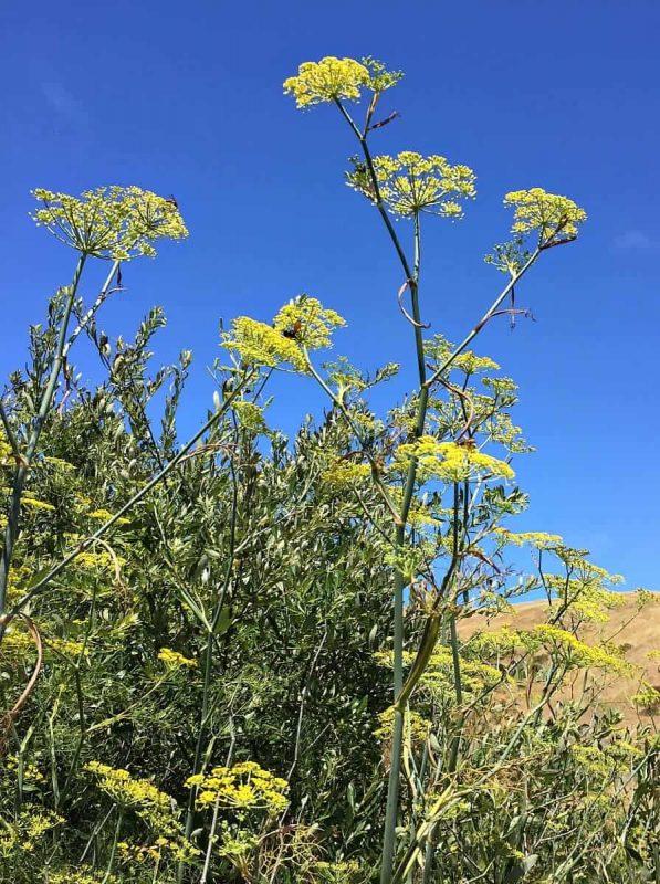wild fennel sky