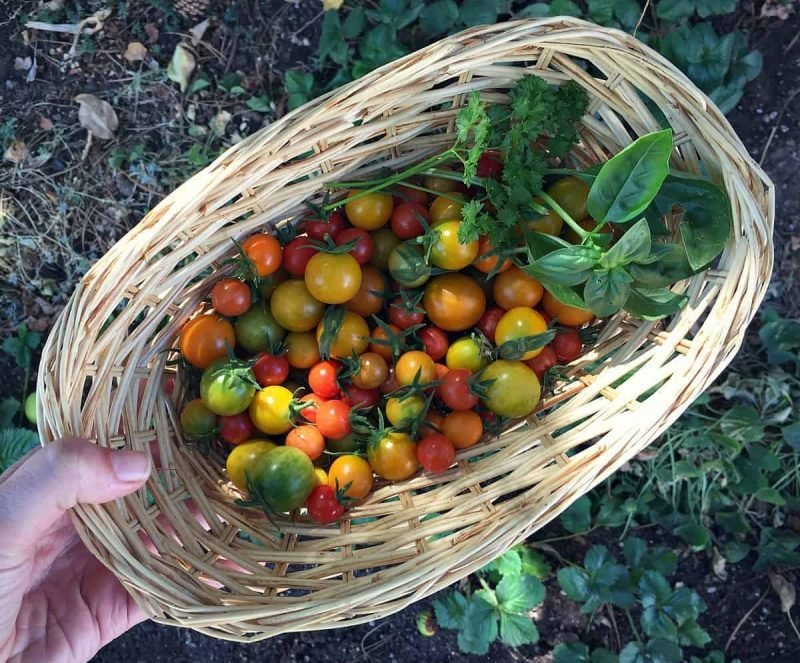 a basket of underripe cherry tomatoes