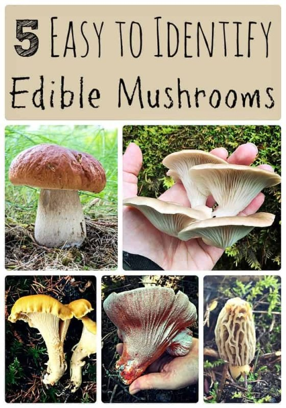 5-easy-to-identify-edible-mushrooms
