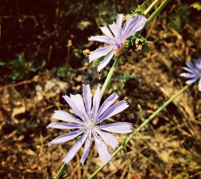 Foraging for Chicory
