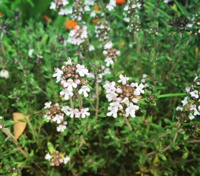 flowering-thyme