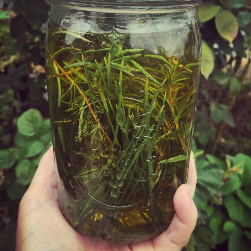 a hand holding a jar of rosemary and pine infused oil