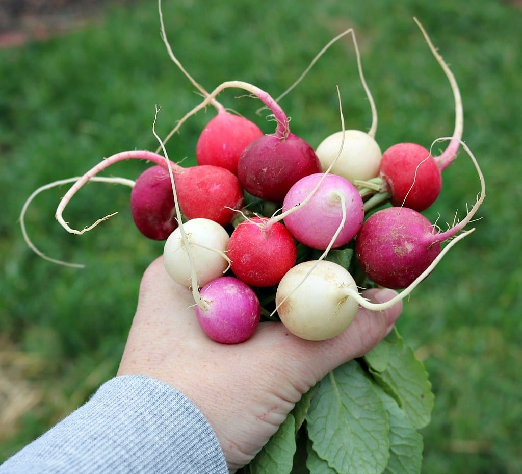 a hand holding a bunch of radishes