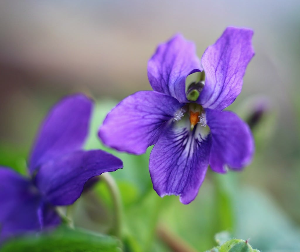 foraging for wild violets