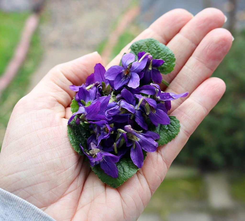 a hand holding foraged wild violet flowers