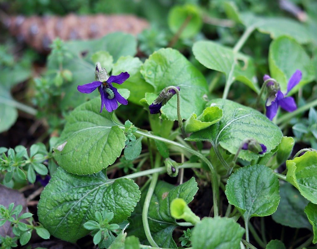 two wild violet flowers, one with a green worm inside
