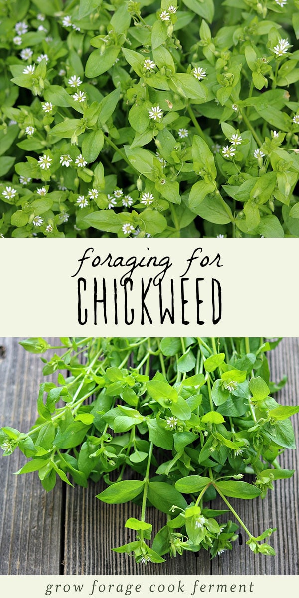 Chickweed is a highly nutritious edible weed that also has medicinal benefits. Foraging for chickweed is easy, and it may even be growing in your backyard! Learn everything you need to know about how to identify and forage for chickweed, and how to use it in recipes and for herbal remedies. #forage #wildcrafting
