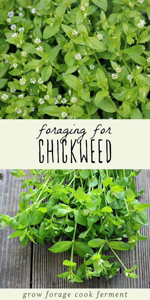 Flowering chickweed plant, and foraged chickweed on a wood background.