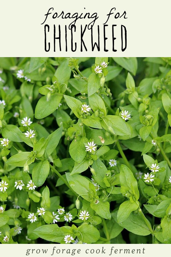 Flowering chickweed plant.