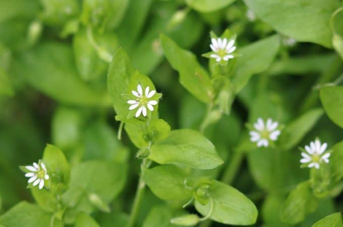Foraging for Chickweed