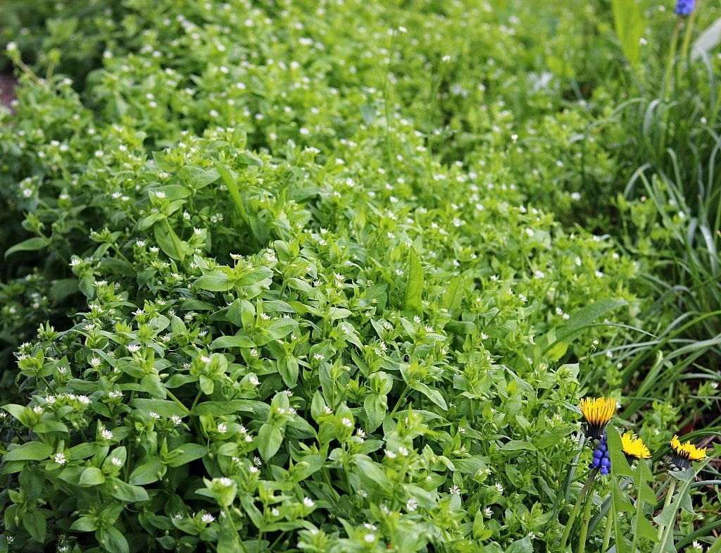 a large patch of low growing chickweed