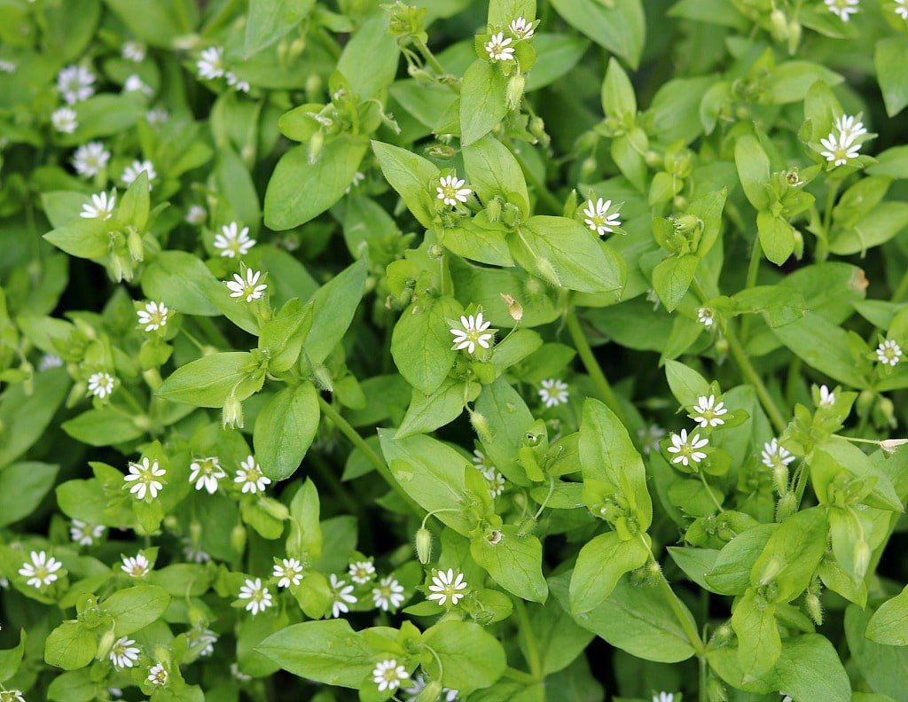 chickweed plant with a lot of little white flowers