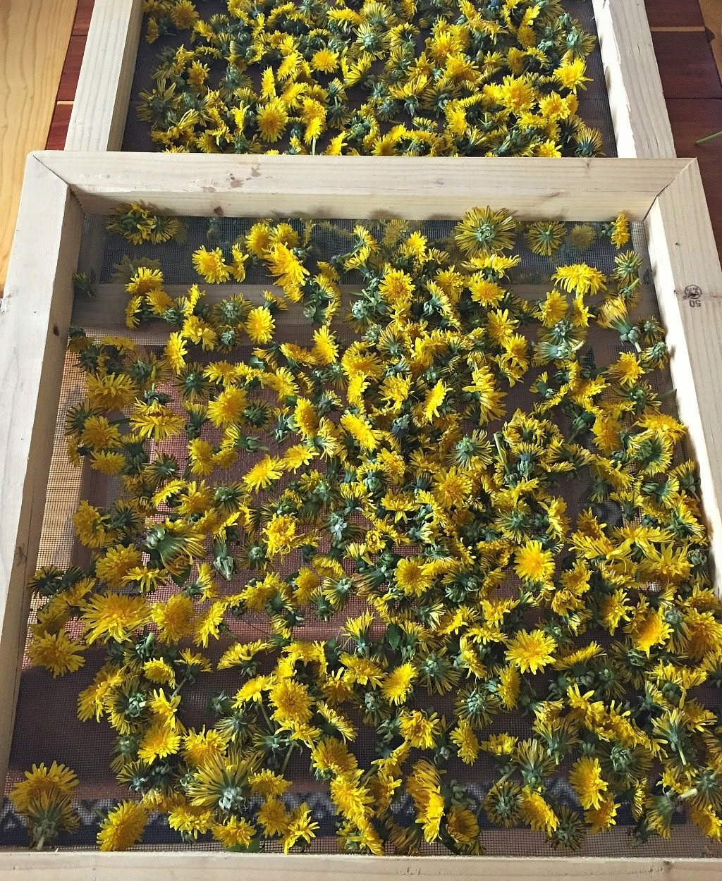 foraged dandelions drying on a screen