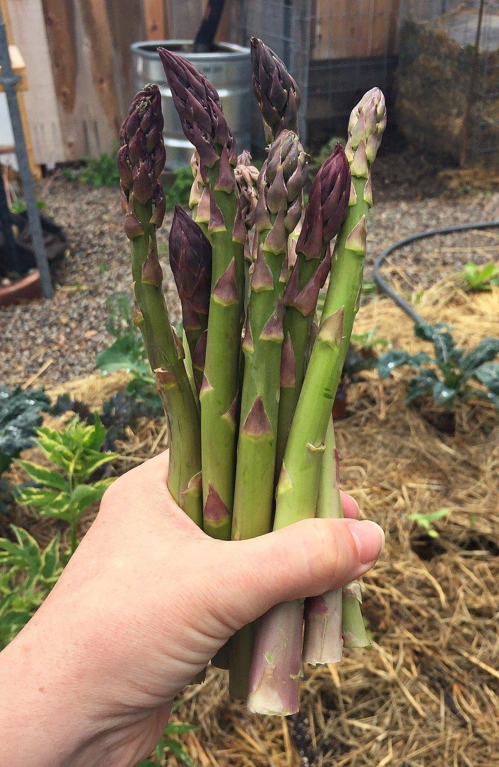 a hand holding fresh asparagus