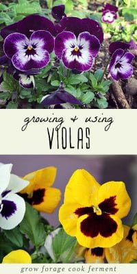 Two images of viola flowers.