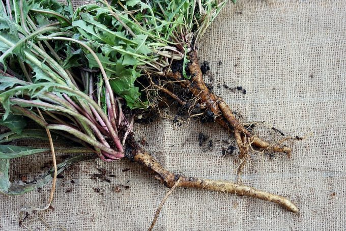 freshly harvested dandlion roots with the greens still attached