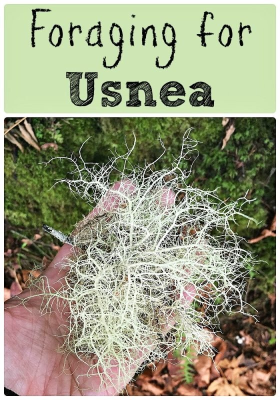 Foraging for Usnea: A Super Medicinal Lichen