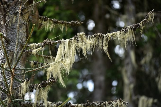 Usnea lichen on a tree branch